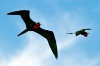 fregattvogel-flug