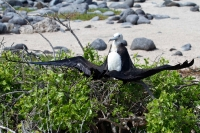 fregattvogel-strand