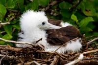 kueken-fregattvogel