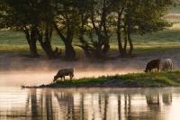 Kühe an der Elbe