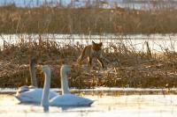 Der Fuchs auf Kontrollgang